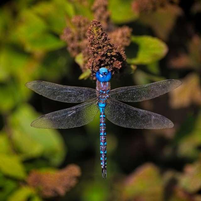 Dragon Fly, Costal BC, CA