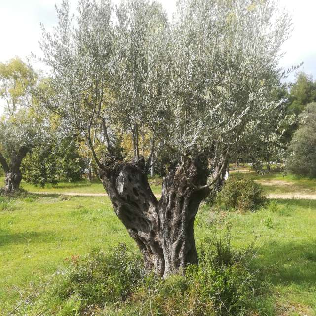 Olive tree Marousi, Forest