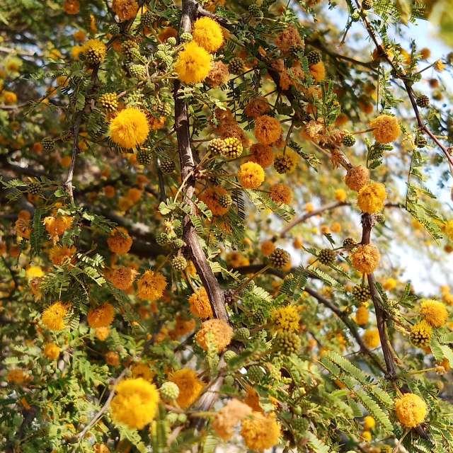 Mezquite en flor