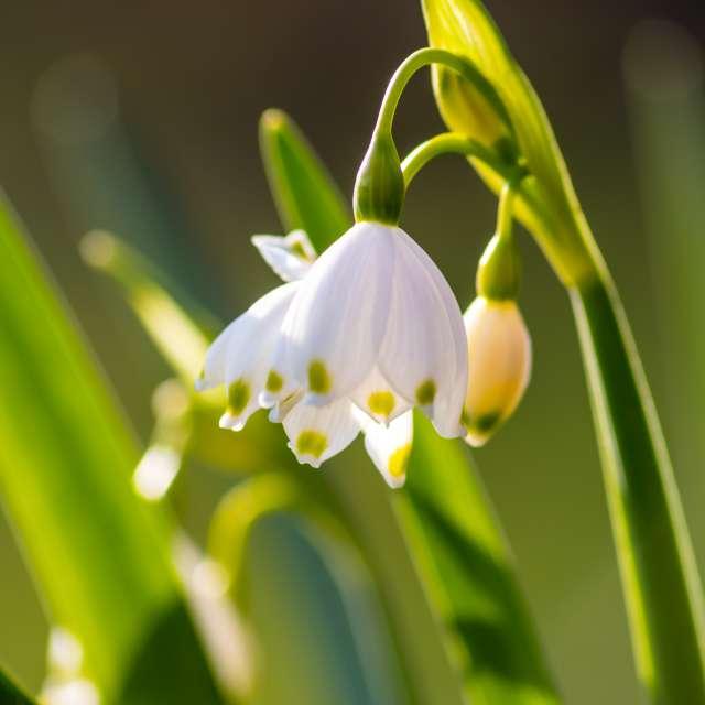 Spring snowflake @ evening sun