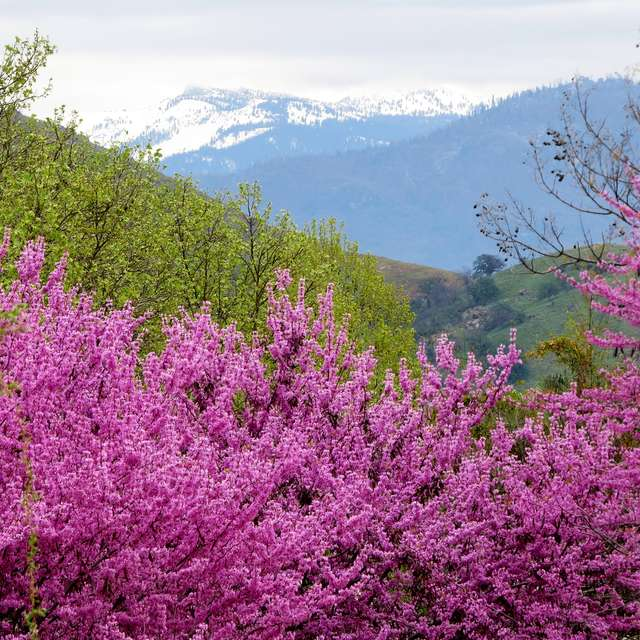 Blossoms In The Sierras