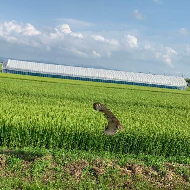 田園風景と鳶