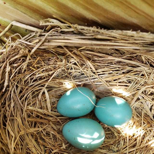 Robin eggs in our grape arbor