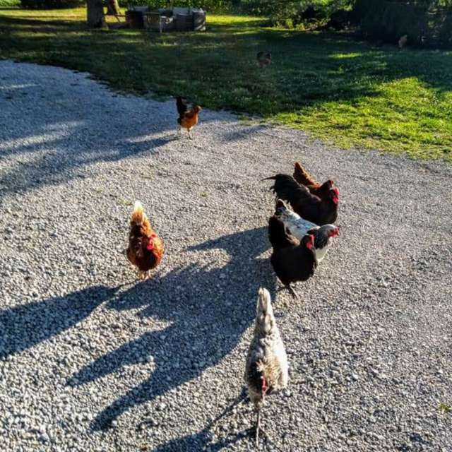 Roosters on my route