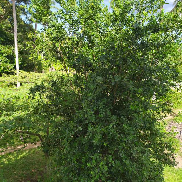 #plant Lemon Tree