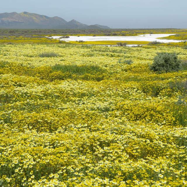 Wild Flowers By Soda Lake