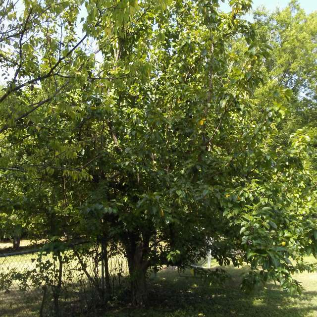 Southern Pear Tree