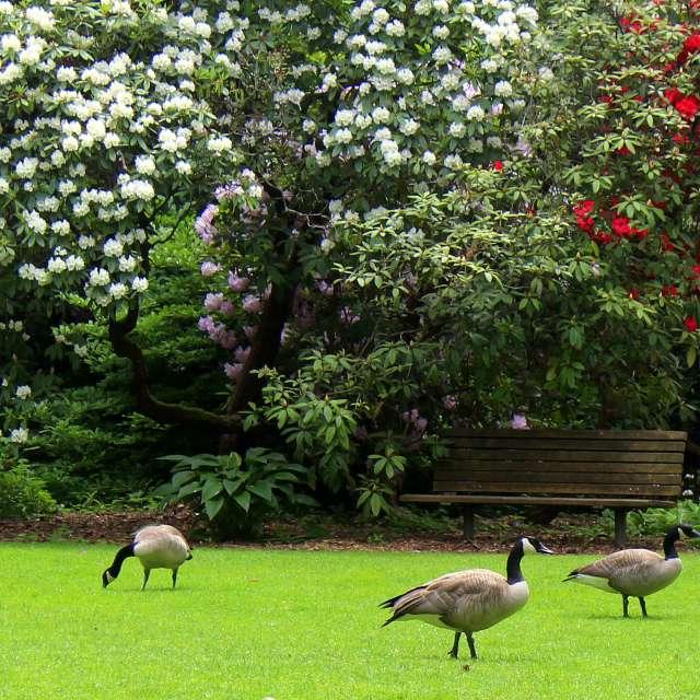 Canadian Geese Roaming