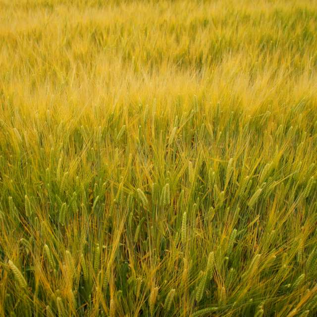金色になり始めた麦畑