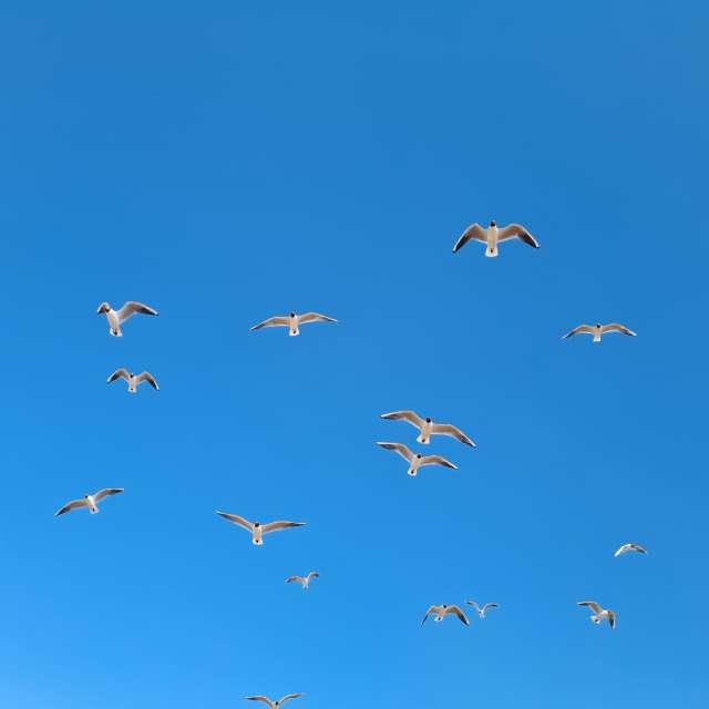 Чайки финского залива