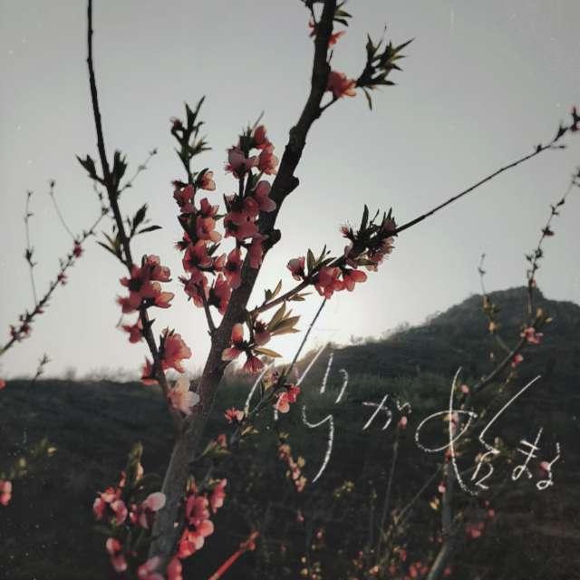 桃花遮住了曙光