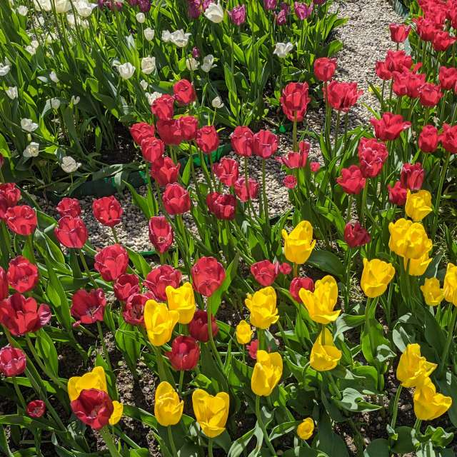 Майские тюльпаны 2