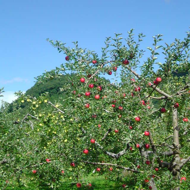 Apple trees / Kazuno, Akita