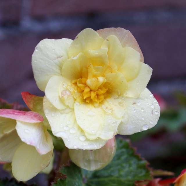 Begonien Blüte