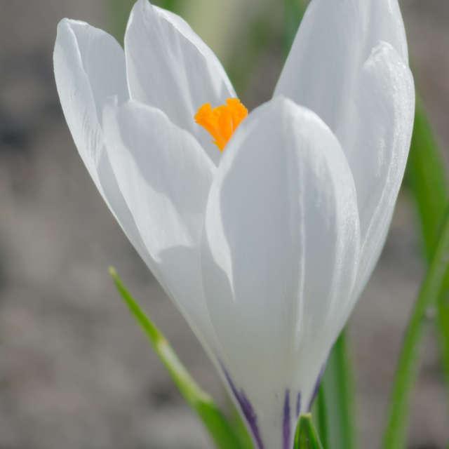 Biały Krokus wiosna słońce