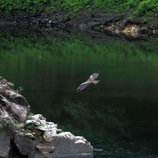 湖畔のトビ