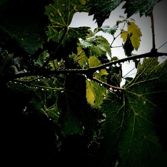 葡萄に降る雨
