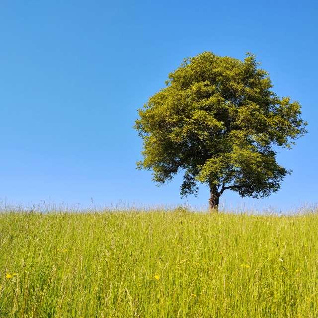 Walnut tree on the meadow