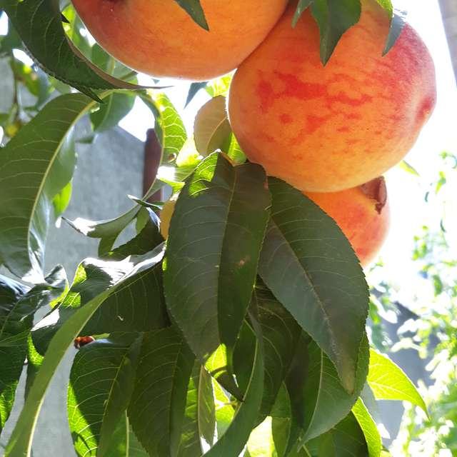 Херсонские персики.
