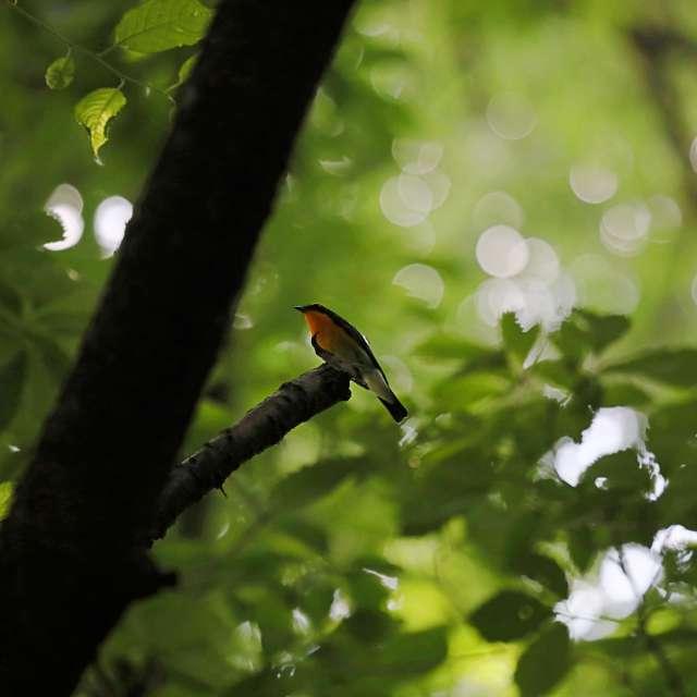 森の中のキビタキ