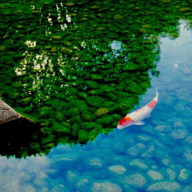 錦鯉と苔のコントラスト