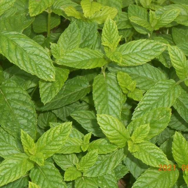 plantes aromatiques de menthe
