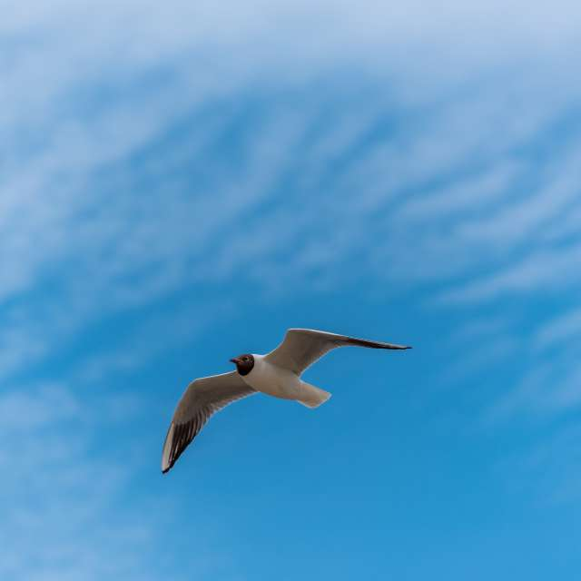 Seagull in Partly Cloudy Sky