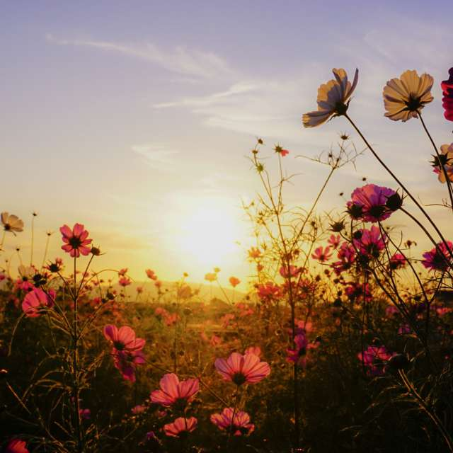 秋桜と夕日
