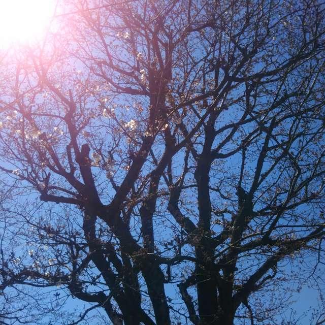 開花前の桜の木 晴天