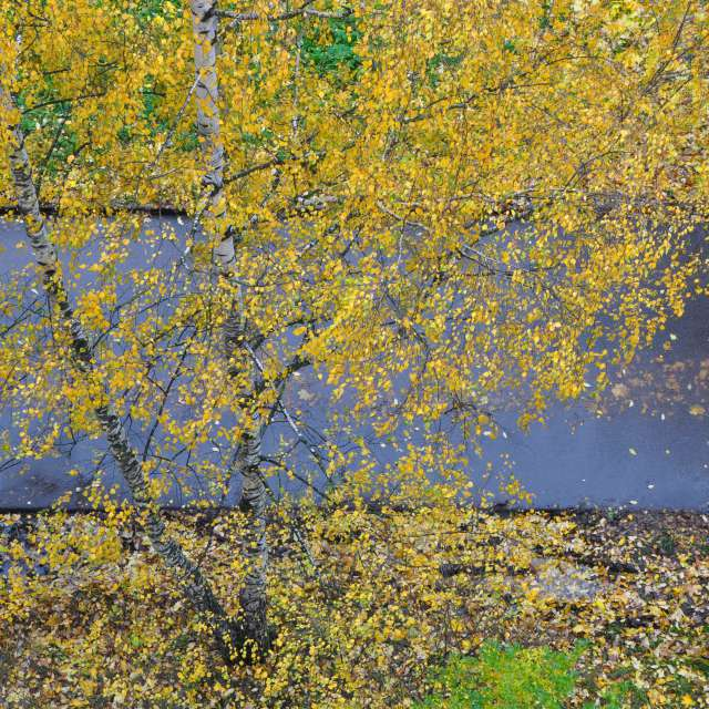 birch autumn track from above