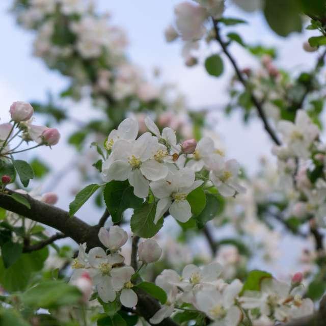 Spring tree flowering