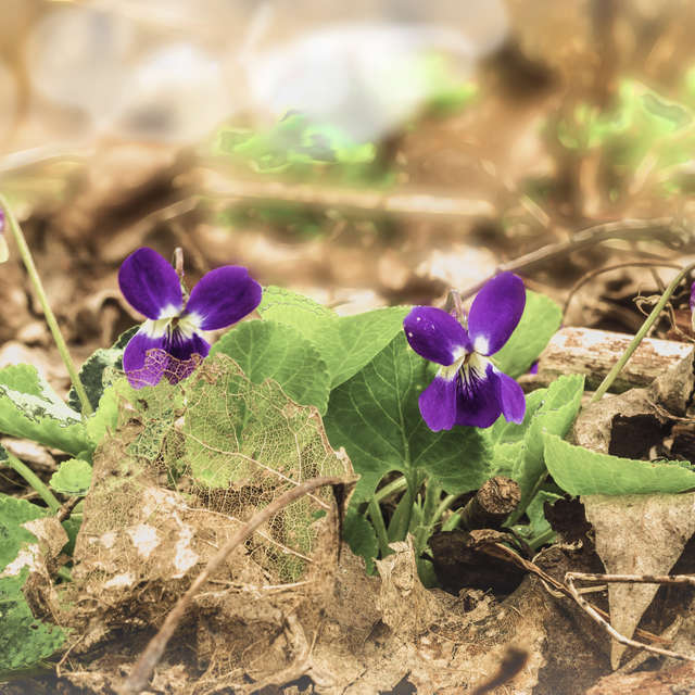 Viola rtichenbachifna...