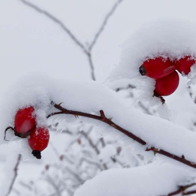 Frischer Schnee on Hagebutter.