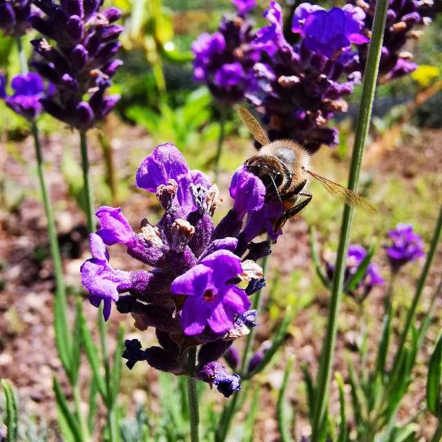 Bee @ work