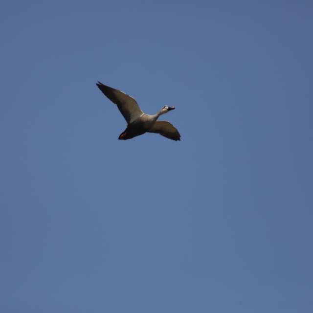 あお空を飛ぶカルガモ