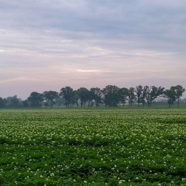 Kartoffeln blühen auf dem Feld