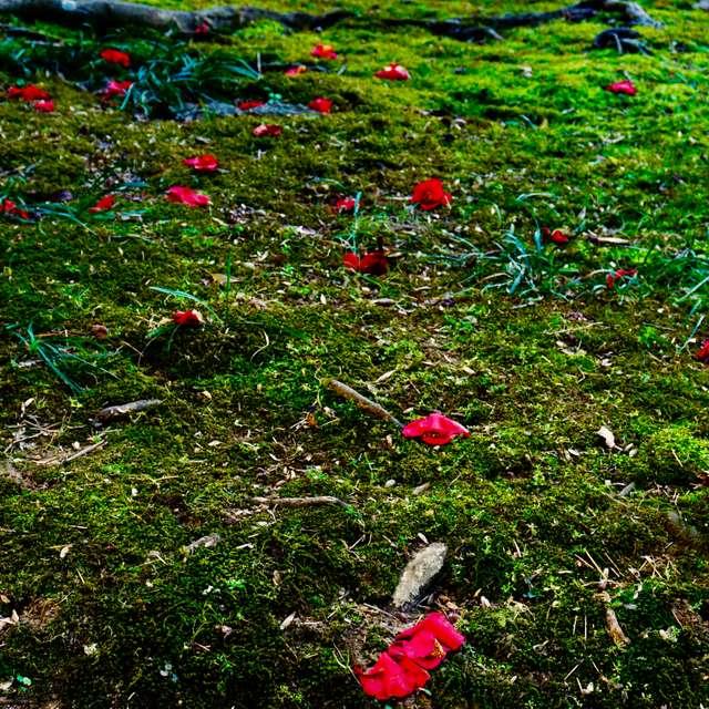色鮮やかな散り椿