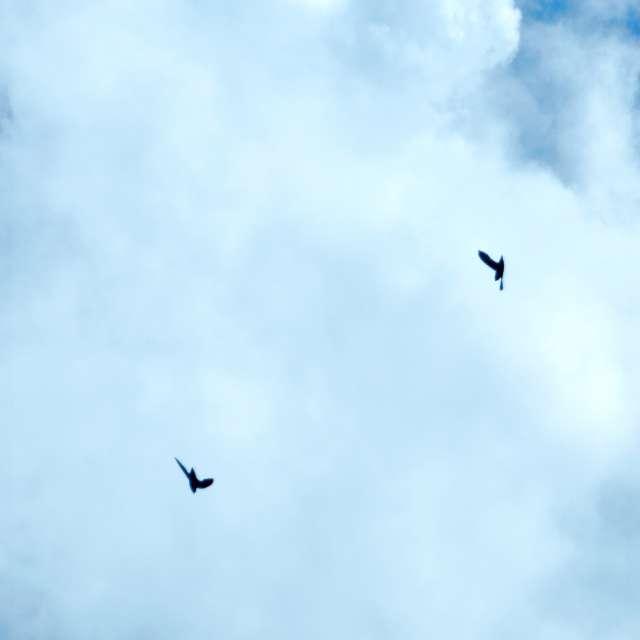Chimney Swift Acrobats