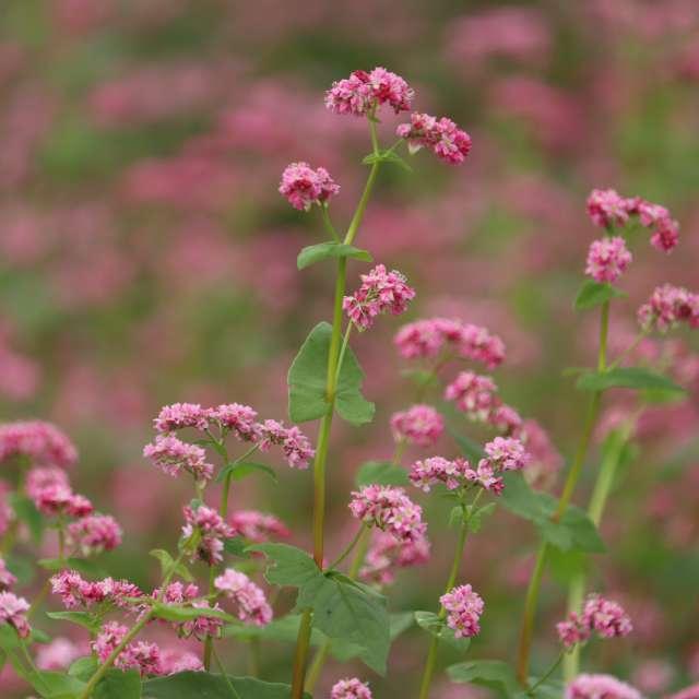ピンクの蕎麦の花