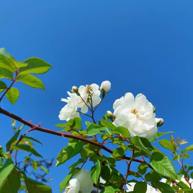 roses blanches et ciel bleu