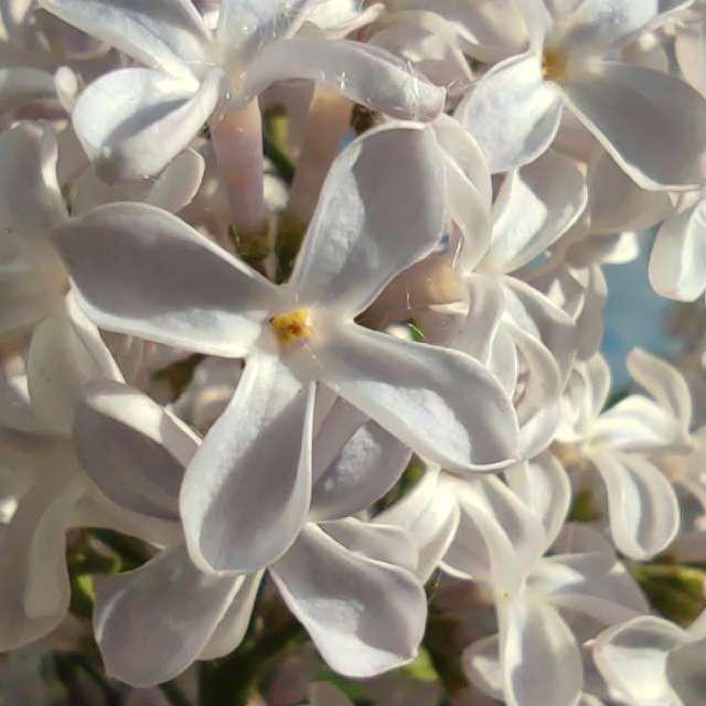 Цветение сирени в мае
