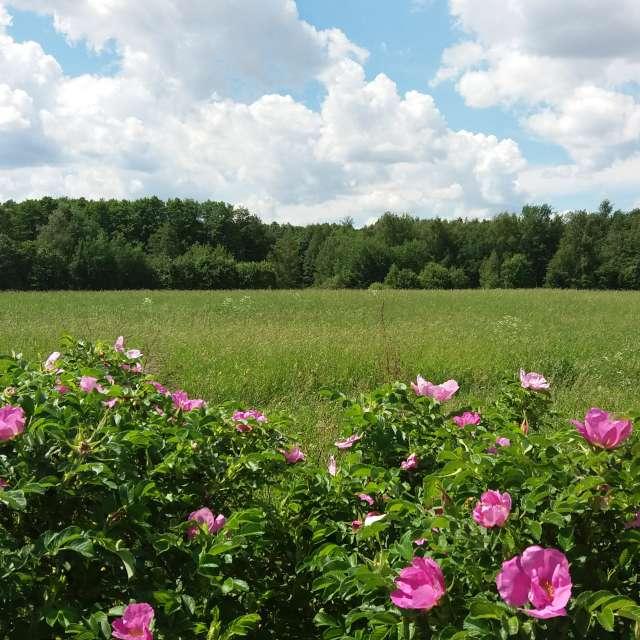 Розовый шиповник в поле