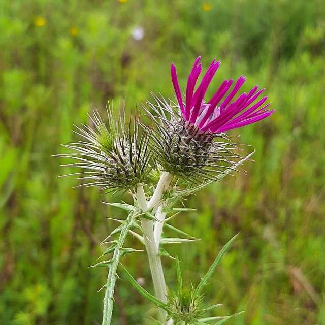 Flor lind