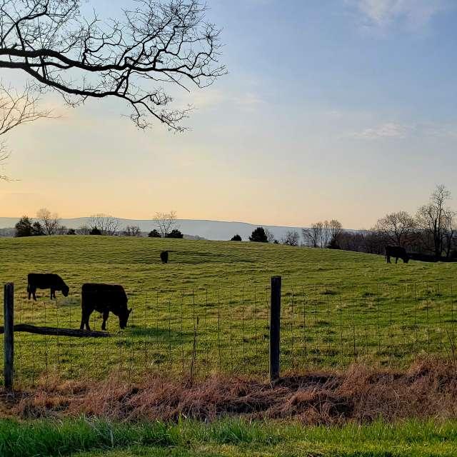 Good morning cows