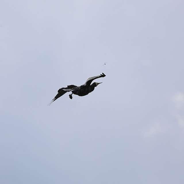 空を飛んでいるカワウ