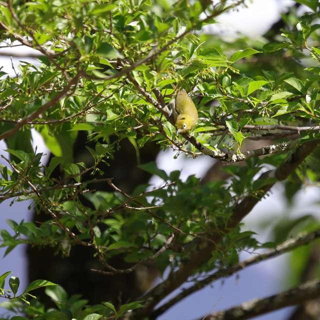 樹上のメジロ