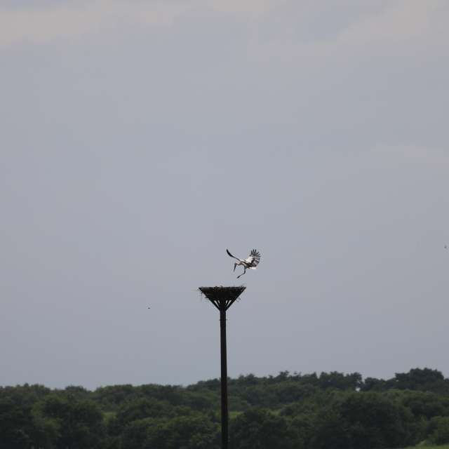 鉄塔に舞い降りるコウノトリ