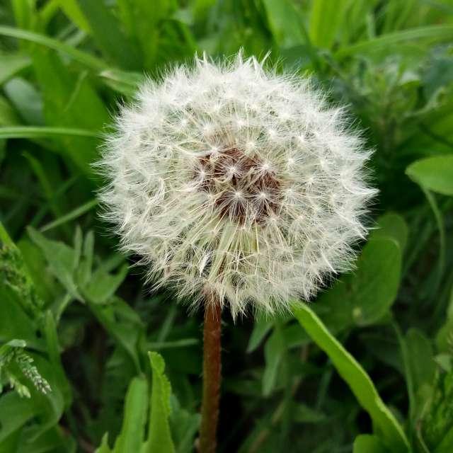 High Quality Dandelion Photo