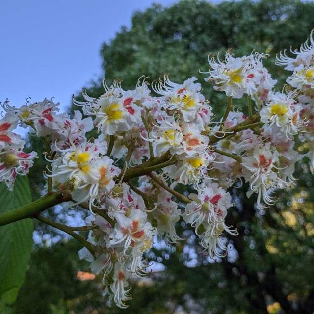 Каштан цветёт