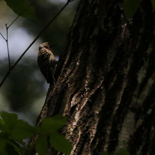森の奥のコゲラ
